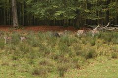 A pack of Sika deers in forrest. Eating and resting stock photography