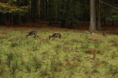 A pack of Sika deers in forrest royalty free stock image