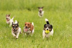 A pack of small Jack Russell Terrier are running and playing together in the meadow with a ball. Many dogs run and play with a ball in a meadow - a cute pack of stock image