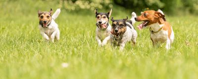 A pack of small Jack Russell Terrier are running and playing together in the meadow with a ball. Many dogs run and play with a ball in a meadow - a cute pack of royalty free stock photo