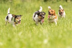 A pack of small Jack Russell Terrier are running and playing togehter in the meadow with a ball. Many dogs run and play with a ball in a meadow - a cute pack of royalty free stock photo