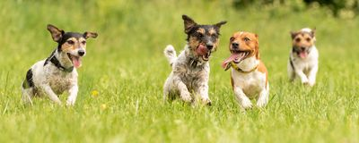 A pack of small Jack Russell Terrier are running and playing together in the meadow with a ball. Many dogs run and play with a ball in a meadow - a cute pack of stock images