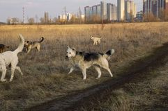 A pack of stray dogs on the background of the city on the horizon stock image
