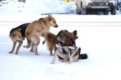 Pack of stray dogs in the snow stock photography