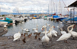 Pack of swans on Leman Lake Royalty Free Stock Photo