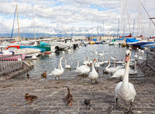 Pack of swans on Leman Lake Stock Photography