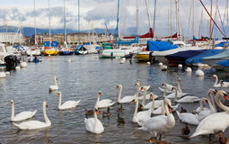 Pack of swans on Leman Lake in Geneva Stock Photography