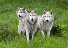Pack Three of European Grey Wolves. A pack Three of European Grey Wolves playing in grass stock image