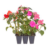 Pack of three impatiens seedlings. Pack containing three seedlings of impatiens plants (Impatiens wallerana) flowering in pink, red and orange ready for Stock Images