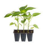Pack of three pepper seedlings. Plastic pack containing three seedlings of sweet pepper (Capsicum annuum) ready for transplanting into a home garden isolated Stock Photo