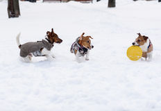 Pack of three terrier dogs playing with yellow toy Stock Image