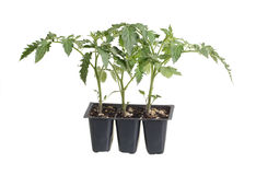 Pack of three tomato seedlings isolated on white. Plastic pack containing three seedlings of tomato (Solanum lycopersicum or Lycopersicon esculentum) ready for Stock Photography