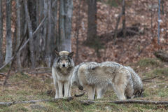 Pack of Timber Wolves royalty free stock photography