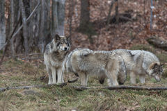 Pack of Timber Wolves Royalty Free Stock Photos