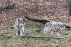 Pack of Timber Wolves Stock Images