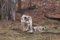 Pack of Timber Wolves royalty free stock photo