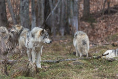 Pack of Timber Wolves Royalty Free Stock Images
