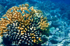 Pack of tropical fishes over a coral reef.Close up in a sunny day Stock Photos