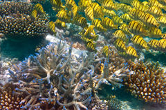 Pack of tropical fishes over a coral reef.Close up in a sunny day Stock Images