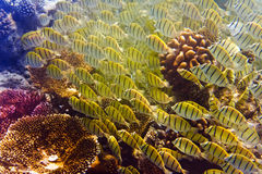 Pack of tropical yellow in a black strip fishes in tropical Sea Royalty Free Stock Photos