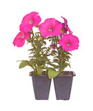 Pack of two pink-flowered petunia seedlings. Pack containing two seedlings of pink-flowering petunia plants ready for transplanting into a home garden isolated Stock Image