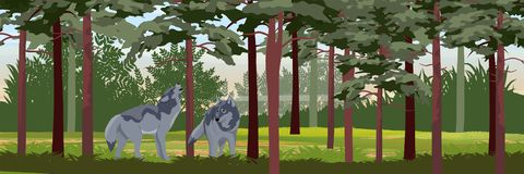 Two wolves in a pine forest vector illustration