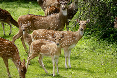 A pack of vigilant spotted deer. In YALA national park,a pack of spotted deer are vigilant to people stock photos