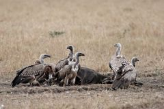 Pack of vultures devouring carcass stock image