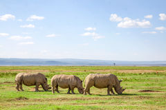 Pack of white rhino Royalty Free Stock Image