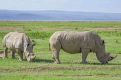 Pack of white rhino royalty free stock image