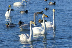 Pack of white swans Stock Image