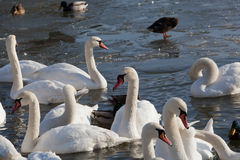Pack of white swans Royalty Free Stock Image