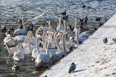 Pack of white swans Royalty Free Stock Images