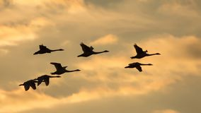 Pack of Whooper swans flies at orange sunset evening. Group of Whooper swans in flight at sunset stock images