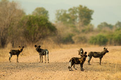 Pack of wild dogs. Pack of wild African wild dogs Stock Photography