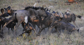 Pack of Wild dogs attack a wildebeest. Wild dogs attack a wildebeest in a game reserve Royalty Free Stock Images
