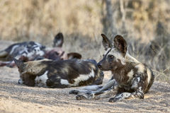 A pack of wild dogs Royalty Free Stock Photography