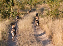 Pack of wild dogs hunting Royalty Free Stock Photo