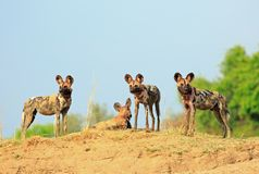 Three Wild dogs standing on the shoreline of the Luangwa River with a vibrant blue clear sky and Royalty Free Stock Photography