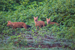 Pack of wild dogs. Rare and endangered wild dog sighted in karnataka state of India Stock Images