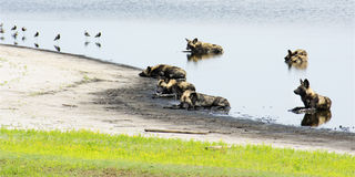 Pack of Wild Dogs in a Shallow Pond Stock Image