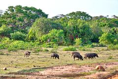 A pack of Wild Pigs in the gorgeous landscape in the Yala Nationalpark Royalty Free Stock Photo