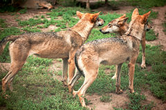 Pack of wolfs Stock Image
