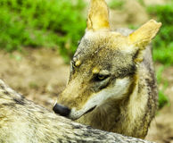 Pack of wolfs Stock Photo