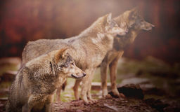 Pack of Wolfs Royalty Free Stock Image