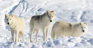 Pack of wolve in snow Royalty Free Stock Photography