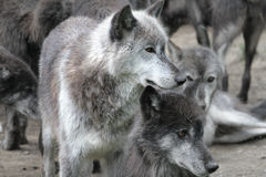 Pack of wolves Royalty Free Stock Photo