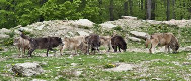 Pack of wolves. In natural ambiance Royalty Free Stock Image