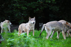 Pack of wolves in natural. In Europe Royalty Free Stock Images