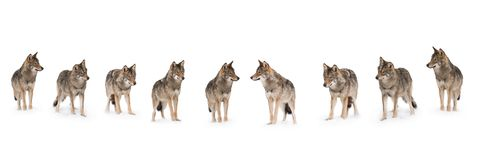 Pack of wolves. Canis lupus isolated on snow on a white background royalty free stock images